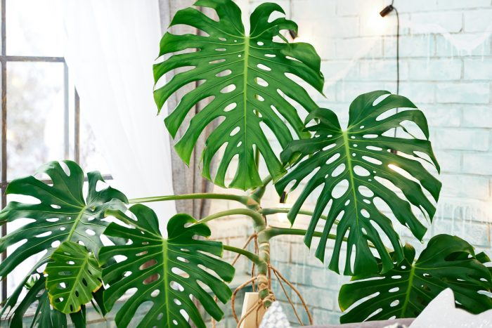 Fully Fenestrated Monstera Deliciosa photo via Depositphotos