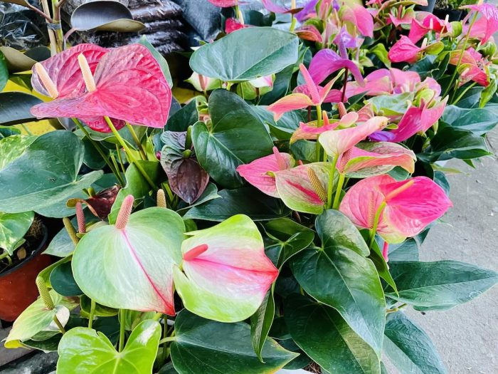 Imported Flowering Anthuriums
