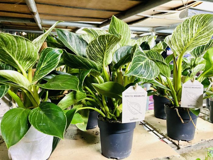 Imported Philodendron Birkin for sale in Quezon City Plant Center