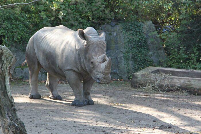 Rhinoceros at Parc zoologique de Lille by Donar Reiskoffer via Wikipedia CC
