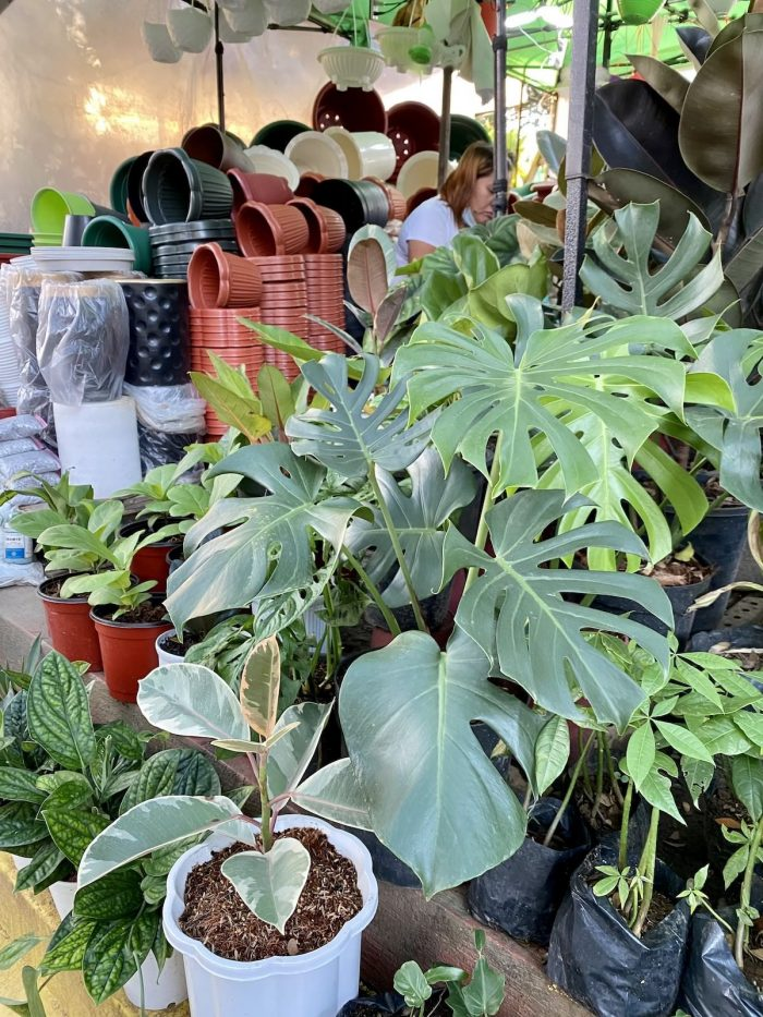 Ruber Plant and Monstera Deliciosa on sale