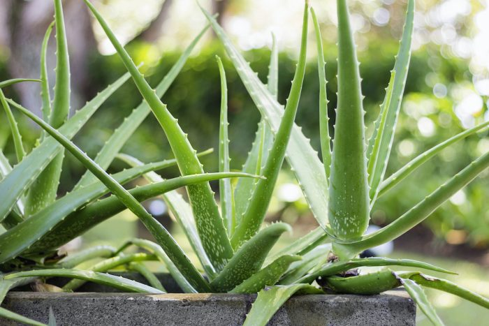 Aloe Vera photo via Depositphotos