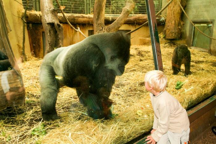 Kid observing gorillas at the Zoo Zurich in Switzerland photo via Depositphotos