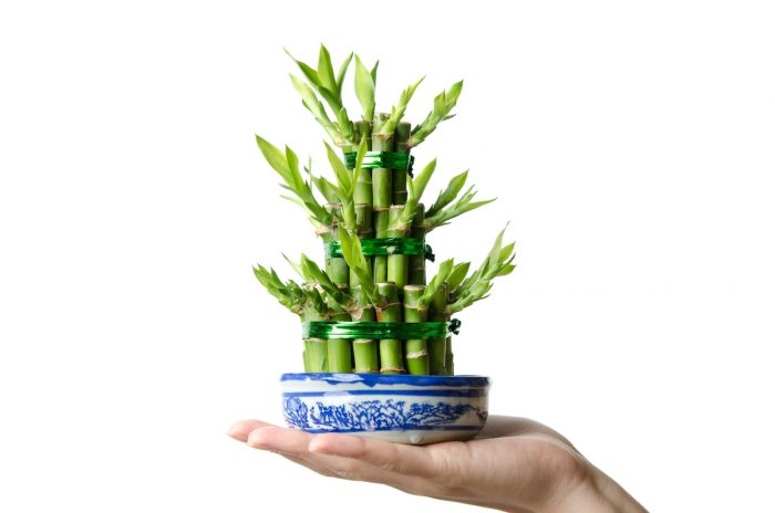 Lucky bamboo, Dracaena sanderiana photo via Depositphotos