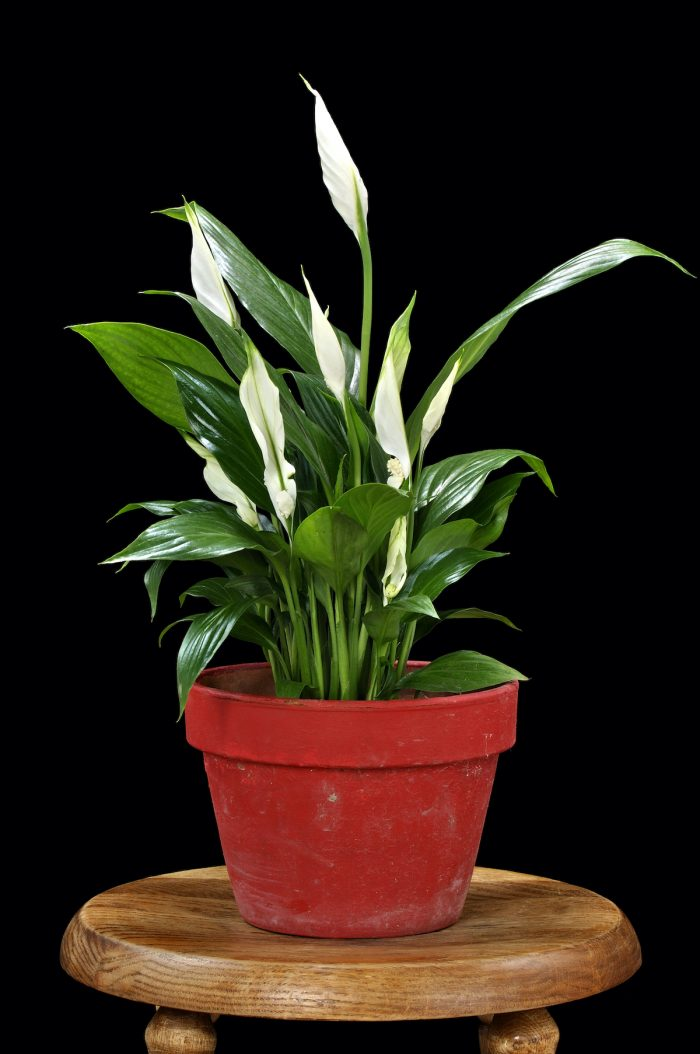 Peace Lily photo via Depositphotos
