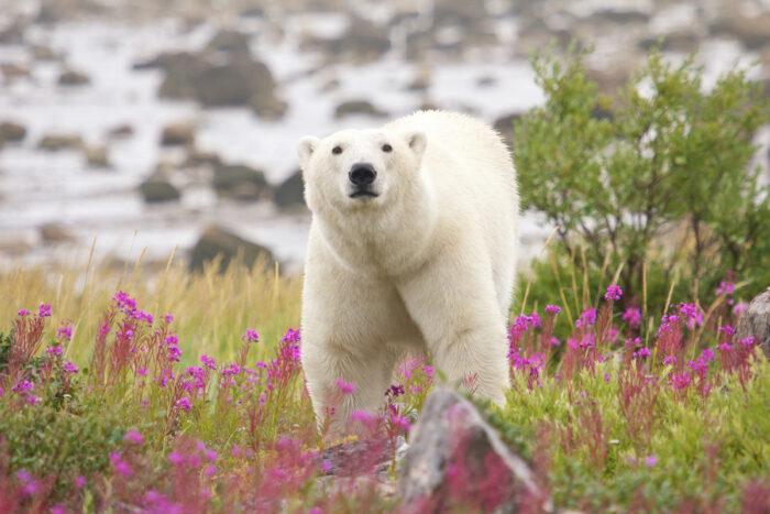 Polar Bear in Churchill Canada photo via Depositphotos