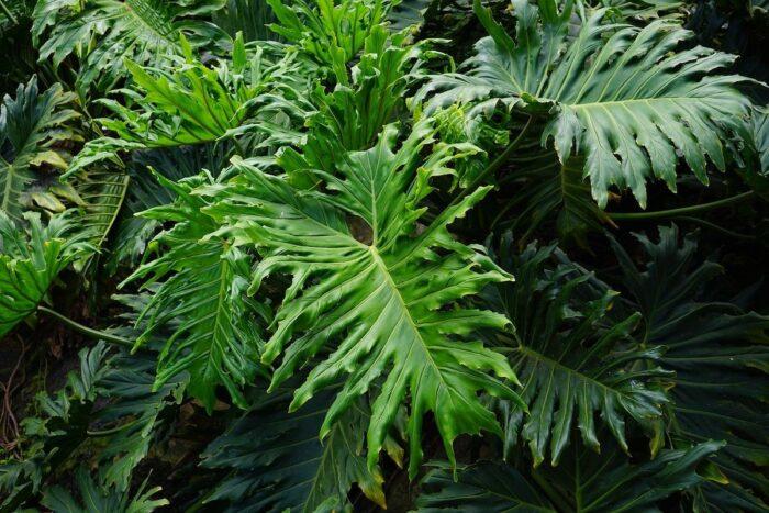 Selloum Plant