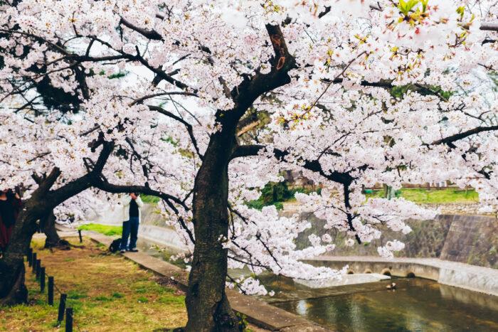 Fukuoka Cherry Blossoms photo via Depositphotos