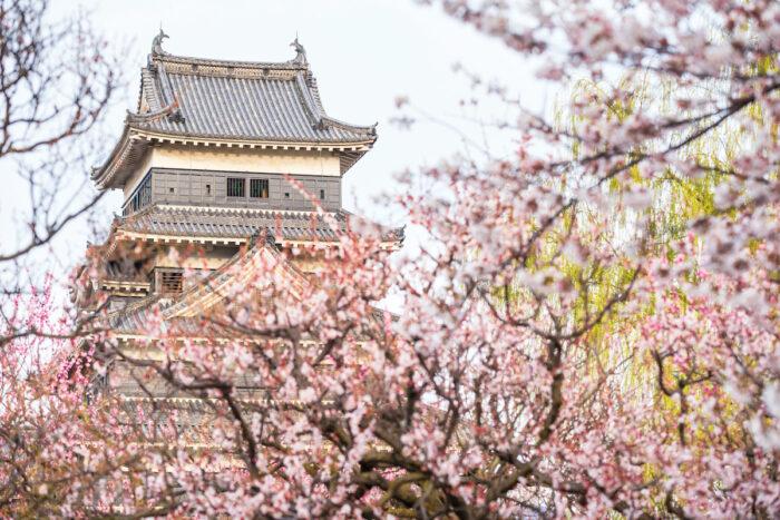 Matsumoto Castle Cherry Blossoms photo via Depositphotos