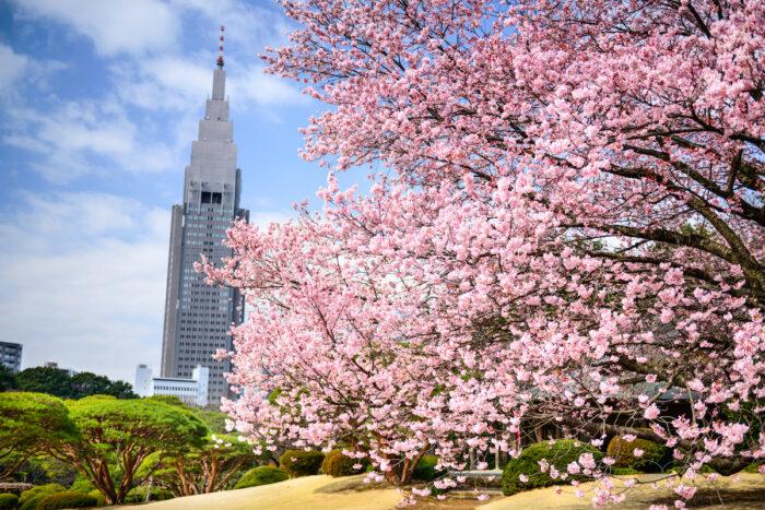 Tokyo Cherry Blossoms photo via Depositphotos