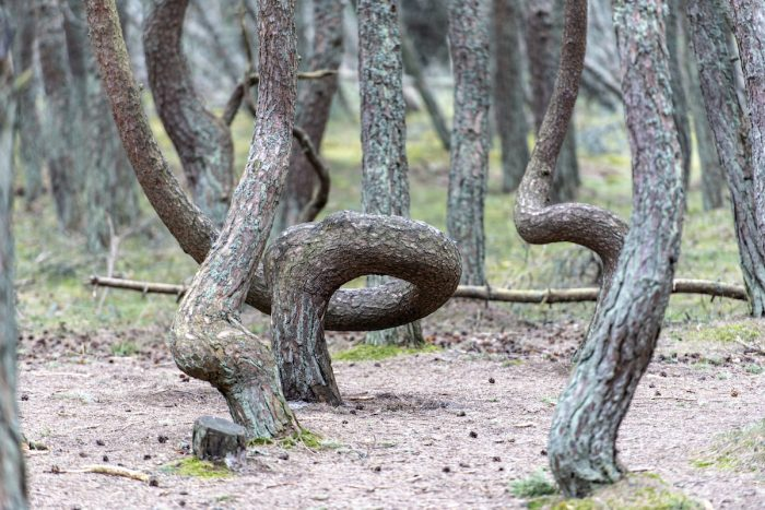 The Dancing Forest in Russia at Curonian spit in Kaliningrad photo via Depositphotos