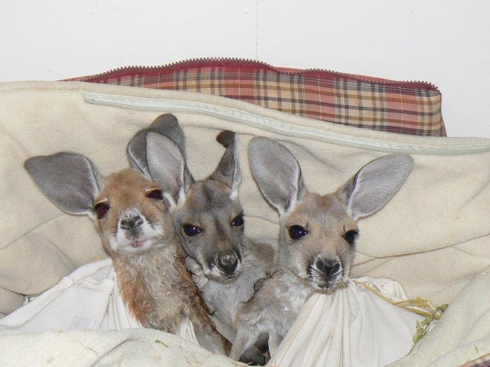 Kangaroo Sanctuary photo via FB Page